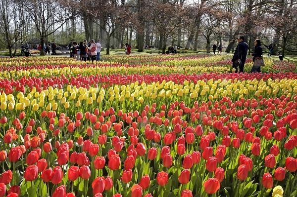 Keukenhof, dove i tulipani sono tappeti infiniti